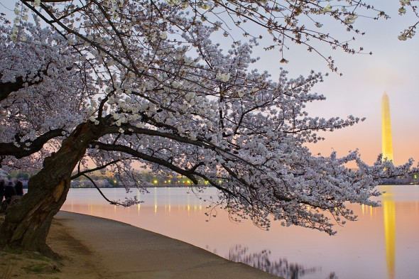 Picture of cherry blossoms around the Tidal Basin in Washington, D.C.